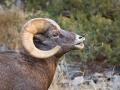 Bighorn Ram 2.jpg